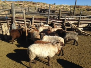 TahNibaa Naataanii's flock of Navajo churro sheep enjoy the New Mexico sunshine