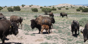 Pojoaque Bison