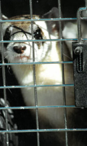 Caged captive bred ferret before its release.