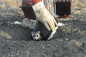 Captive bred ferret being released into burrow in 2011.